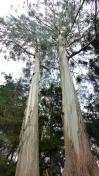Ces immenses arbres sont impressionnants