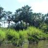 Les palmiers carnauba